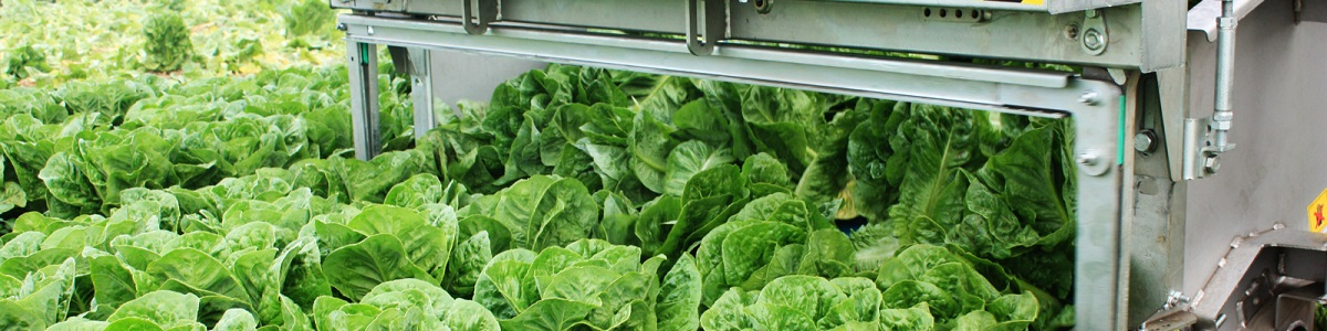 Ortomec mechanical harvesting lettuce